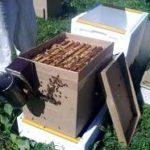 Как правильно делать отводки пчел