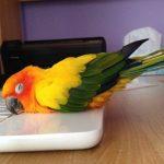 Попугай постоянно спит: почему? Сколько должны спать?