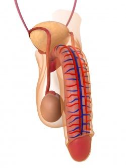 анатомия сосудов члена