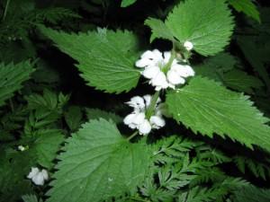 цветки крапивы