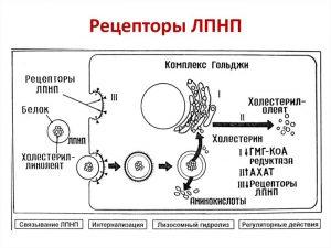 Рецепторы ЛПНП