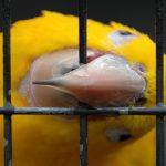 У попугая слоится клюв — что делать?