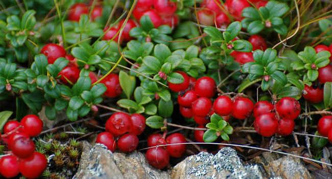 брусника-состав-ягоды-брусники