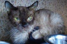 Симптомы и признаки чумки у кошек