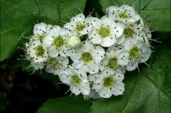 Цветы калины при диабете
