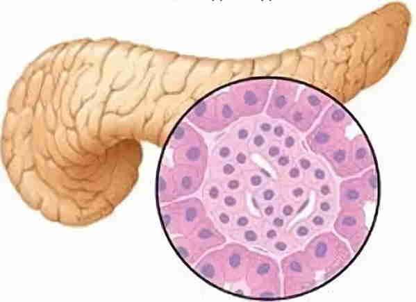 паренхима-железистая ткань поджелудочной железы