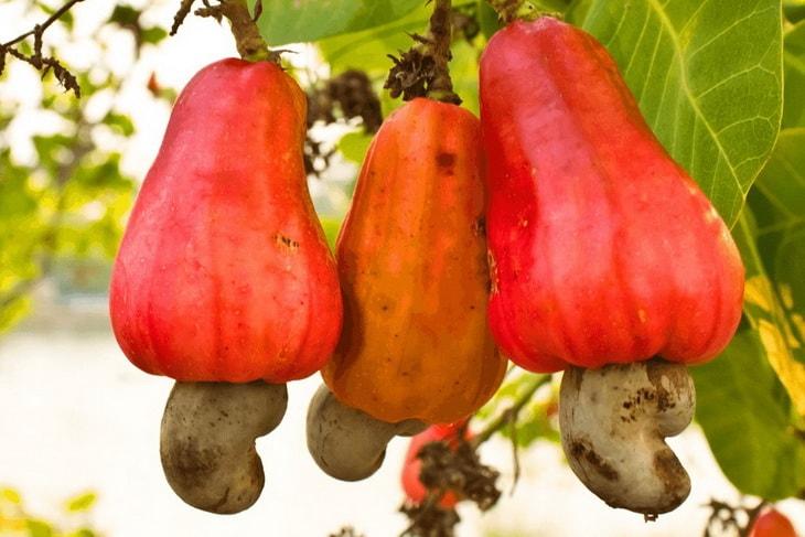 Плоды и орехи кешью на дереве