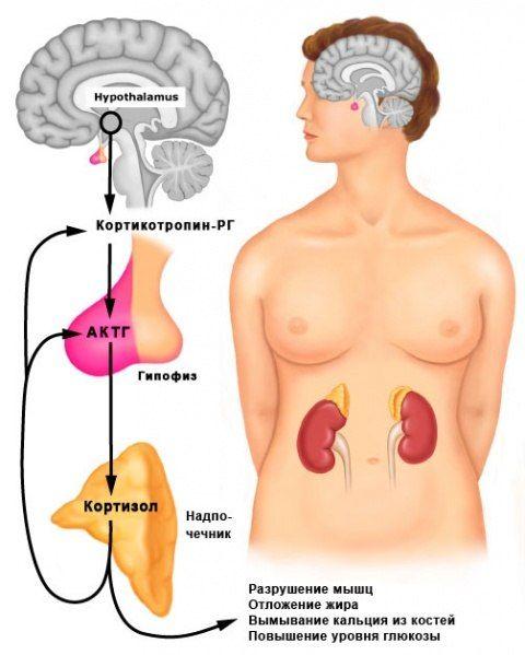 Выработка и влияние кортизола на организм