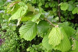 Листья лещины