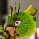 Синдром самоощипывания попугаев