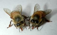 Обычные пчелы - основа подмора