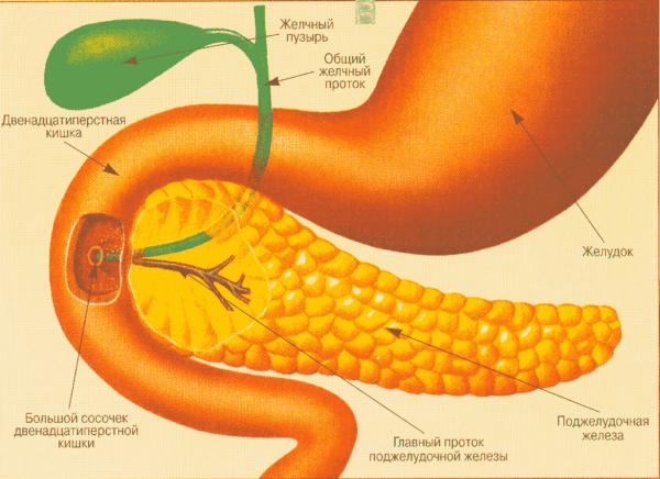 схема желудок