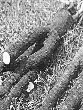 Сладкий корень