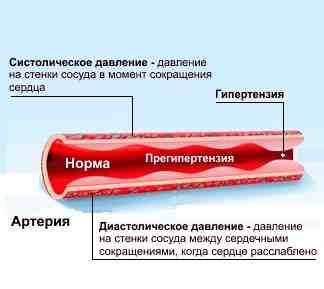 строение артерий