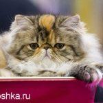 Цистит у кошки — как лечить?