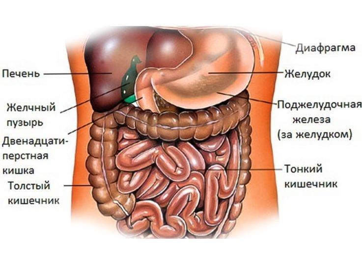 Анатомия брюшного отдела