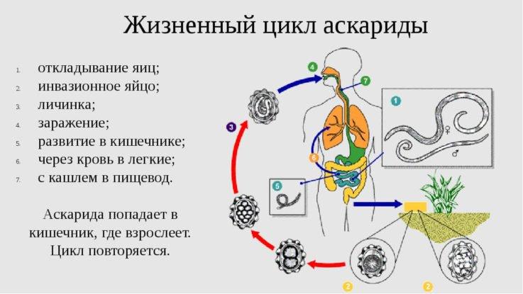 Механизм возникновения аскаридоза