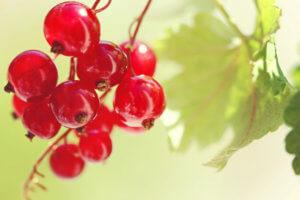 Сок красной смородины в косметических целях