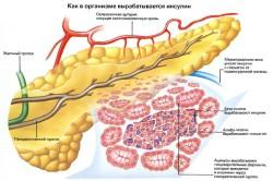 Процесс выработки гормона инсулина