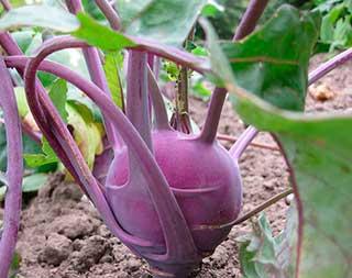 фиолетовая кольраби