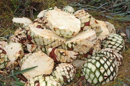 Плоды агавы