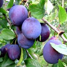 плодовая ветка
